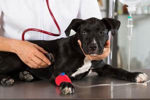Contrainte légale chien dangereux en France : Evaluation comportementale chez un veto