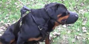 Le Rottweiler, chien de catégorie 2 doit être muselé et tenu en laisse sur la voie publique