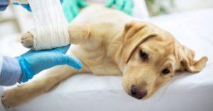 Chien soigné chez un vétérinaire bandage